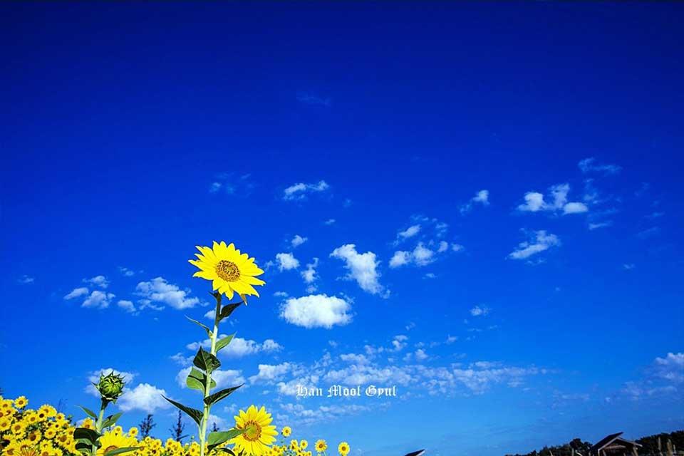 시흥-가을-해바라기